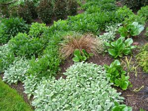 Bergenian är växten med de läderartade gröna bladen. Här samplanterad med silvergrå lammöra. Foto K Engstrand