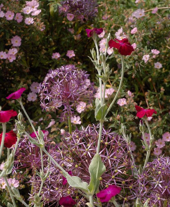 Besökarna blir förförda av hettan i de  färgstarka kombinationerna som återfinns i grusträdgården. Purpurklätt, rosa blommande tok (ölandstok) och stäpplök i skön förening. Foto: Kerstin Engstrand