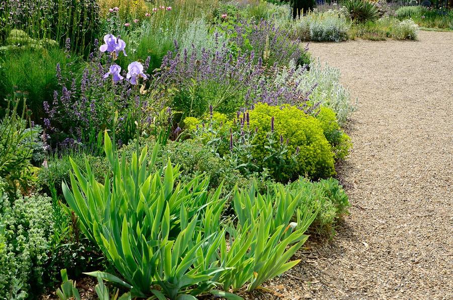 Iris är en klassisk torktålig växt. Foto: Kerstin Engstrand