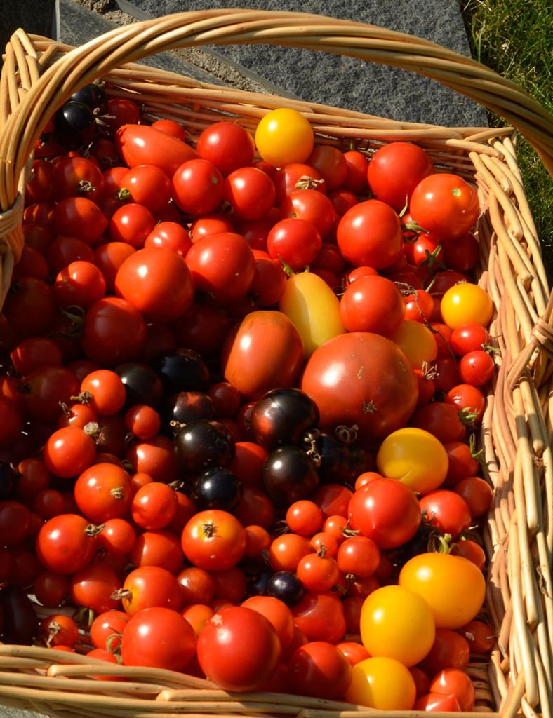 Odla tomater och bli rik, på solvarma tomater. På italienska heter tomat pomodoro, guldäpple av pomo=äpple, oro=guld. Foto: Kerstin Engstrand