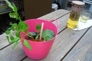 Förkultiverad tomat- och zucchiniplantor och ett glas te. Foto: Kerstin Engstrand