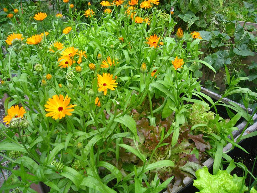 Sallat passar utmärkt i rabatten. Här samsas den med en annat ätbar växt, ringblomma. Foto: Kerstin Engstrand