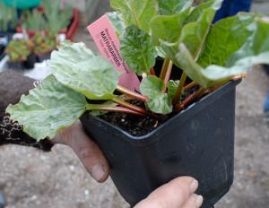 Victoria är den vanligaste sorten i våra trädgårdsbutiker. Foto: Kerstin Engstrand