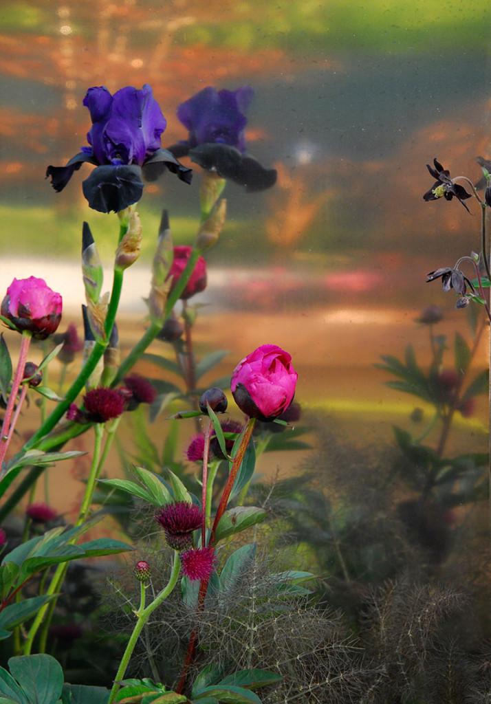 Som en tavla, sammetsblå iris, läppstiftsrosa pioner i knopp och så pricken över i:et, bäcktisteln.  Foto: Kerstin Engstrand