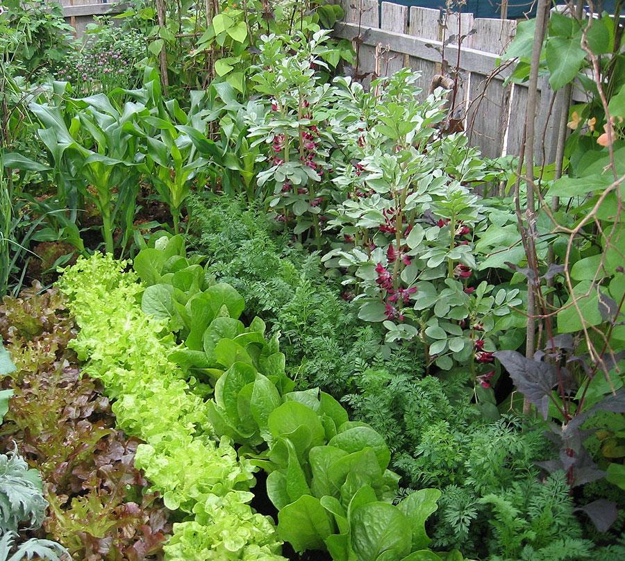 Rödblommande bondbönor till höger. Foto: Kerstin Engstrand