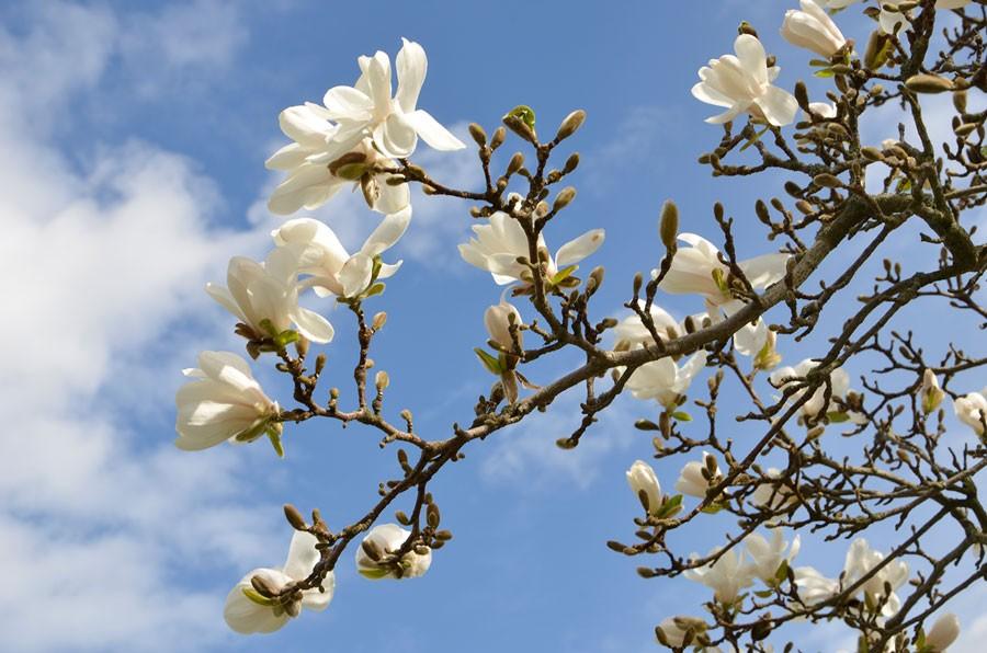 Japansk magnolia. Foto: Kerstin Engstrand