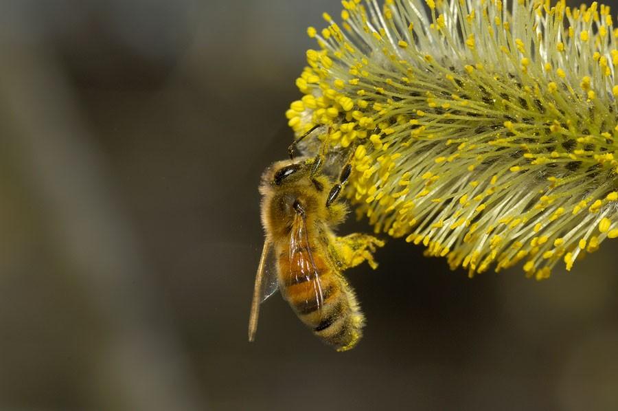 Honungsbi (Apis mellifera) pollinerar sälg. Foto: Ola Jennersten/Wärldsnaturfonden