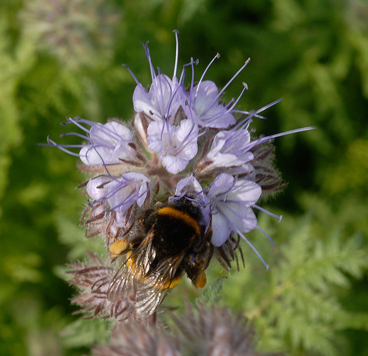 Humla på honungsfacelia. Foto: Kerstin Engstrand