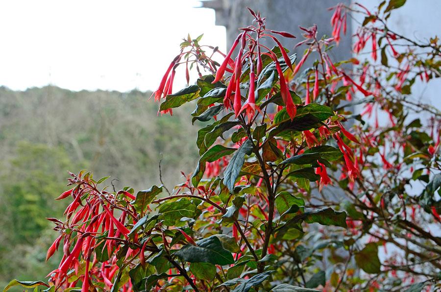I Portugal blommar fuchsian även under vår vinter. Foto: Kerstin Engstrand