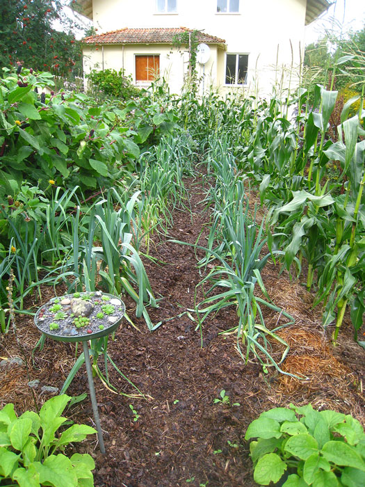 I områden med en bredd av 90 cm odlar Börje. Jorden är så porös att purjolöken med lätthet dras upp vid skörd. Foto: Kerstin Engstrand