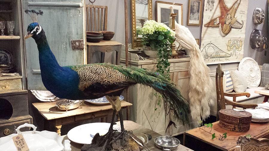 På Antikmässan fanns flera uppstoppade påfåglar till salu. den vita väckte mest uppmärksamhet och såldes direkt. den är troligen från 1930-40 talets New York. Foto: Kerstin Engstrand