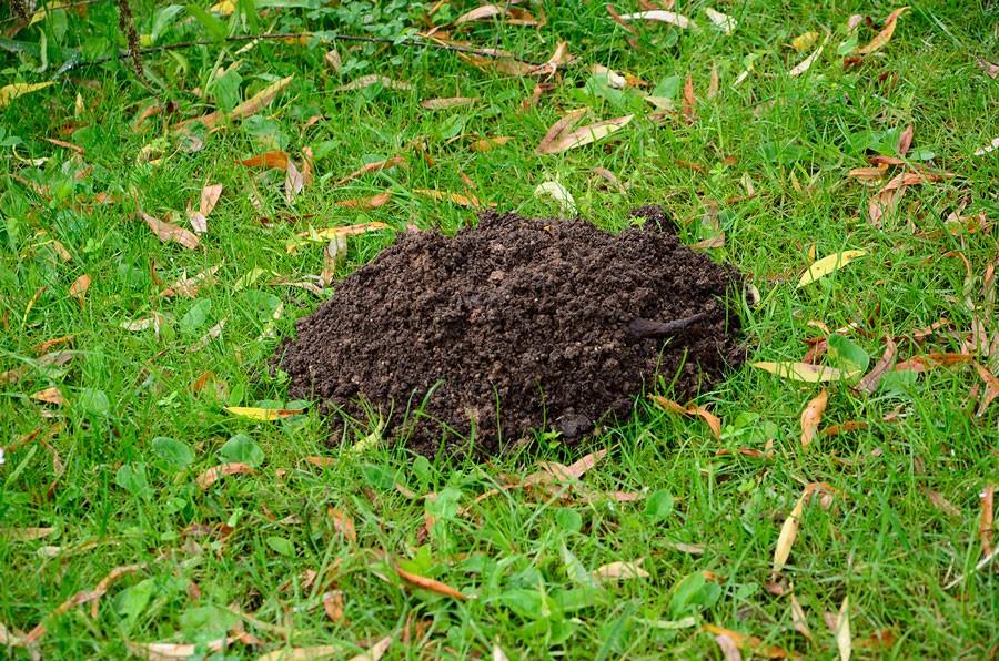 Och mullvadarna visar sina spår på gräsmattan. Foto: Kerstin Engstrand