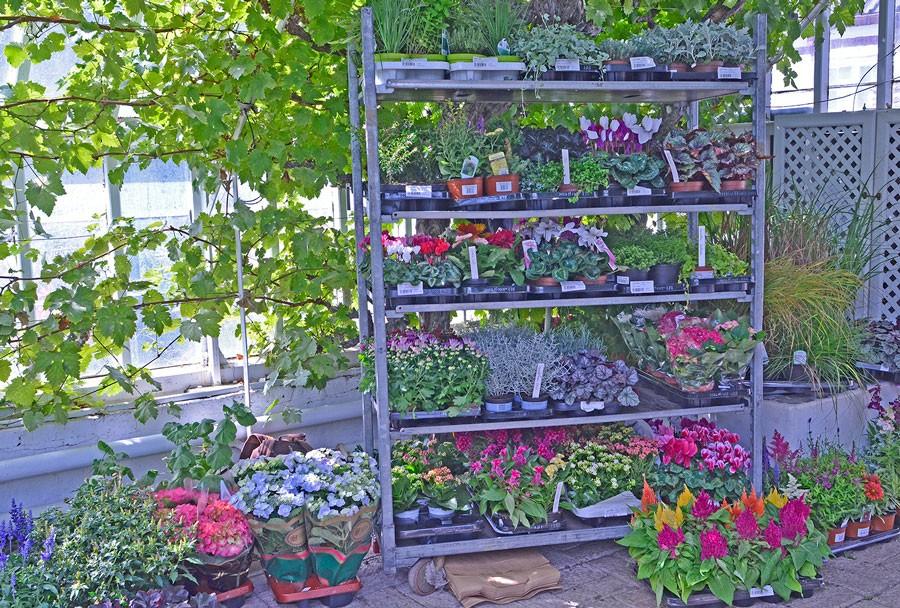 Urvalet av bra balkongväxter för höstens lådor är stort. Foto: Kerstin Engstrand