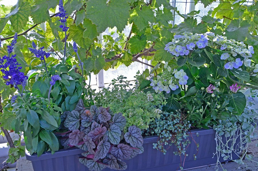 Daggsalvia. alunrot och hortensia är tongivande i denna plantering. Foto: Kerstin Engstrand