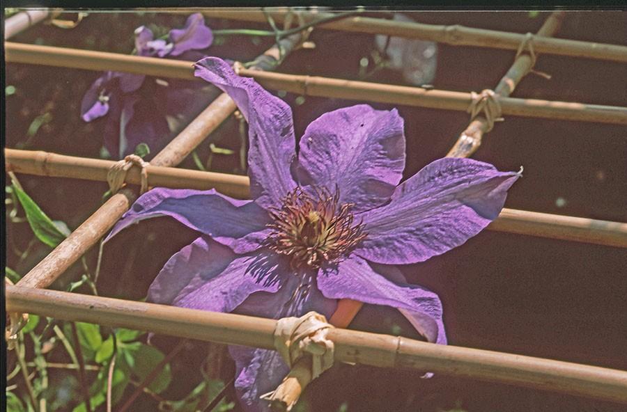 Bambukäpparna bildar ett enkelt rutmönster och vanlig bindbast matchar bambuns färg.  Det tar sin lilla tid men redan de första blommorna vilar behagfullt på bordets rutmönster. Foto: Kerstin Engstrand