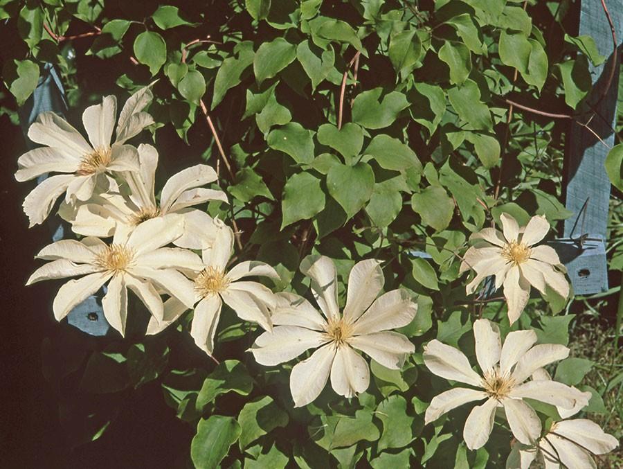 Moonlight'  har stora mycket attraktiva månskensgula blommor. Den blommar först i maj för att sedan återkomma med en andra, mindre blomning i augusti-september. 'Moonlight' är först lite blyg, men när den är väl etablerad så växer den snabbt till sig. Blir 2-3 m hög. Idag är den lättare att få tag på utomlands än i Sverige. Foto: Kerstin Engstrand