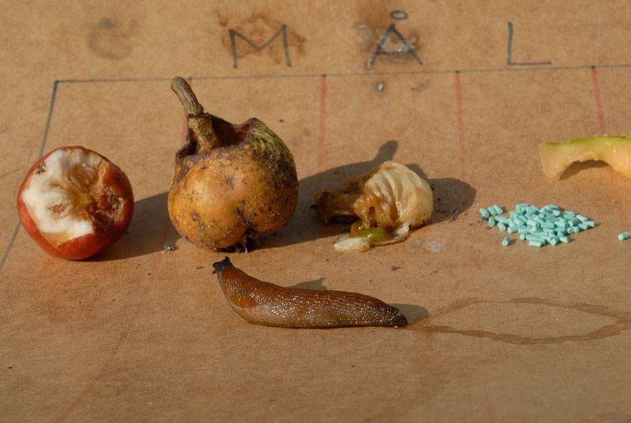 Kerstin Engstrand har testat det mesta när det gäller mördarsniglars favoritkost. Och oavsett vad hon har lockat med så har alltid halvruttna äpplen varit deras favoritmål. Foto: Kerstin Engstrand