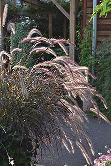Prydnadsgräsen är vackra på hösten när de får ax och vippor. Foto:Blomsterfrämjandet