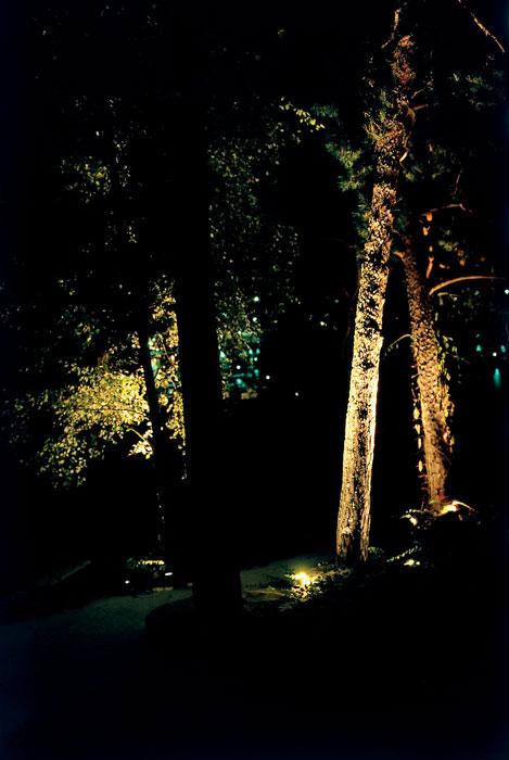 Tallens rostbruna bark är särskilt effektfull att ljussätta. Foto: Kerstin Engstrand