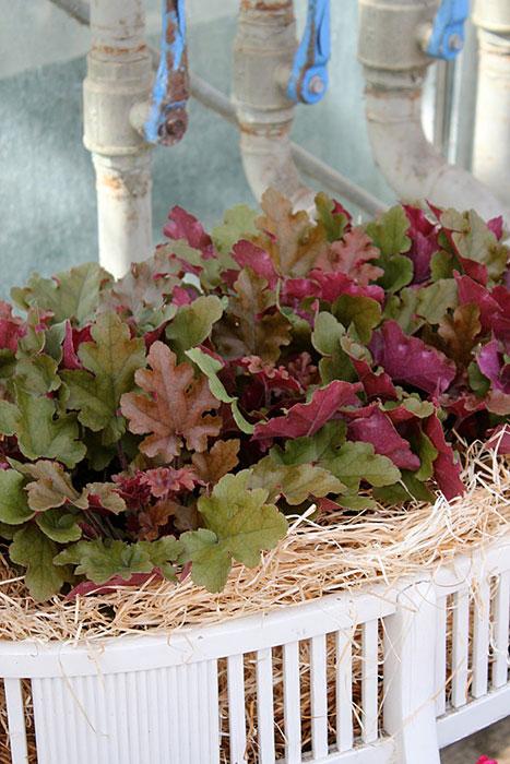 Alunrot är en tålig växt som håller sig fin långt in på hösten. Det finns mängder av sorter att välja blad. Foto: Blomsterfrämjandet