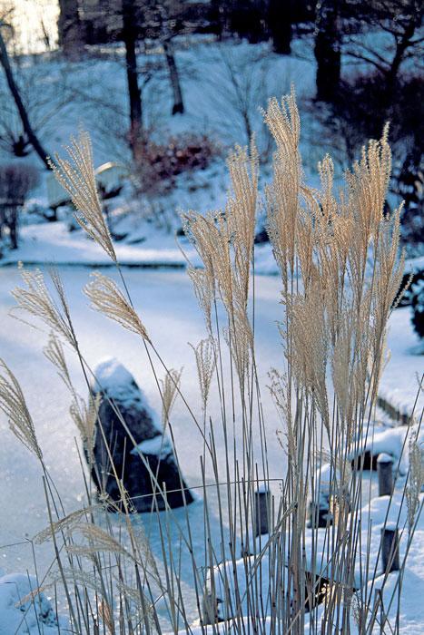 Miskantusgräs i vinterljus i den japanska trädgården/Bergianska i Stockholm. Foto: K.Engstrand