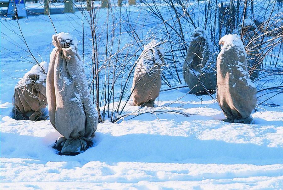 Skydda vintergröna buskar mot den starka januari- och vårsolen. Foto: K.Engstrand