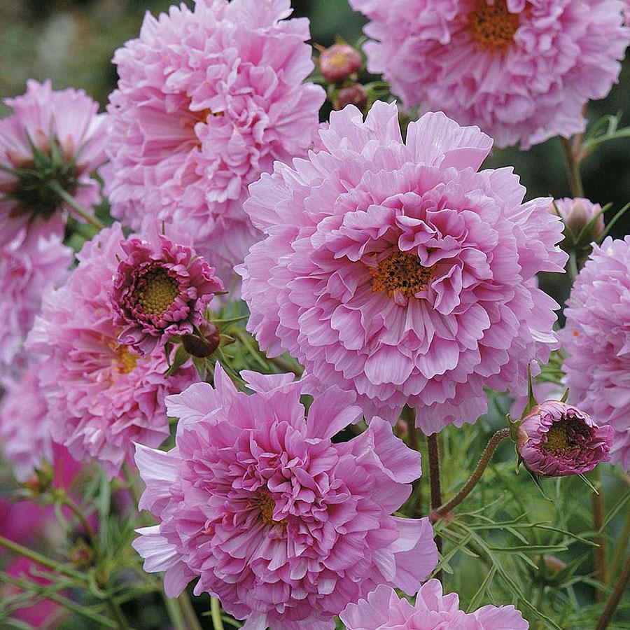 wDouble-Click-Rose-Bonbon