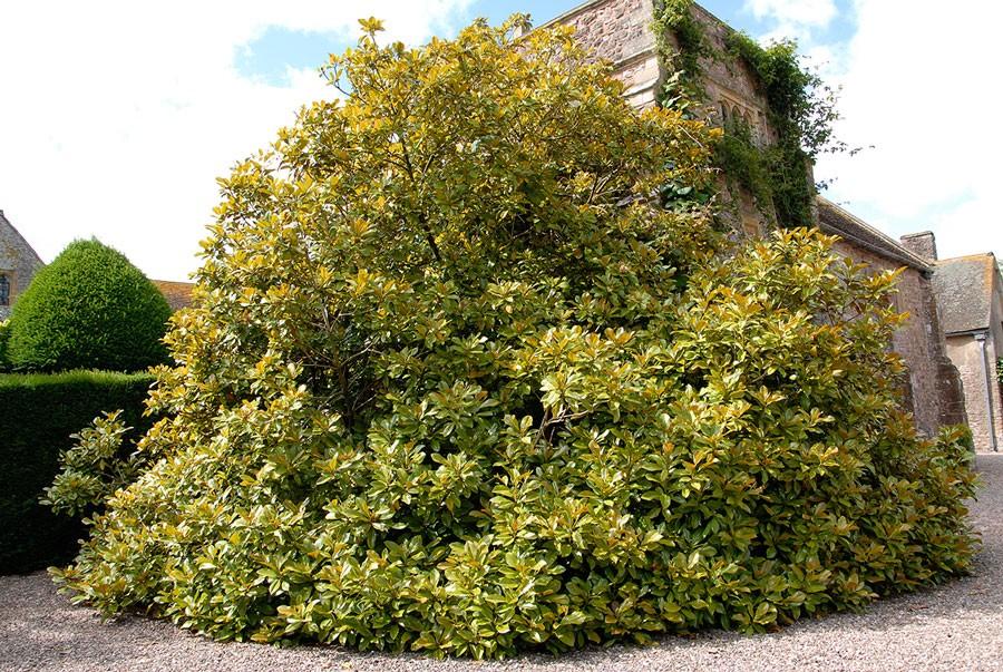 En enorm Magnolia grandiflora flankerar husets ena hörn. Foto: Kerstin Engstrand