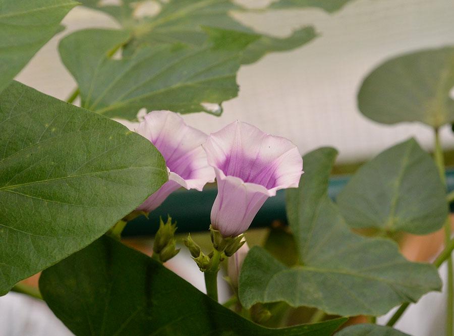 I slutet av augusti brukar sötpotatisen blomma. Foto: Kerstin Engstrand