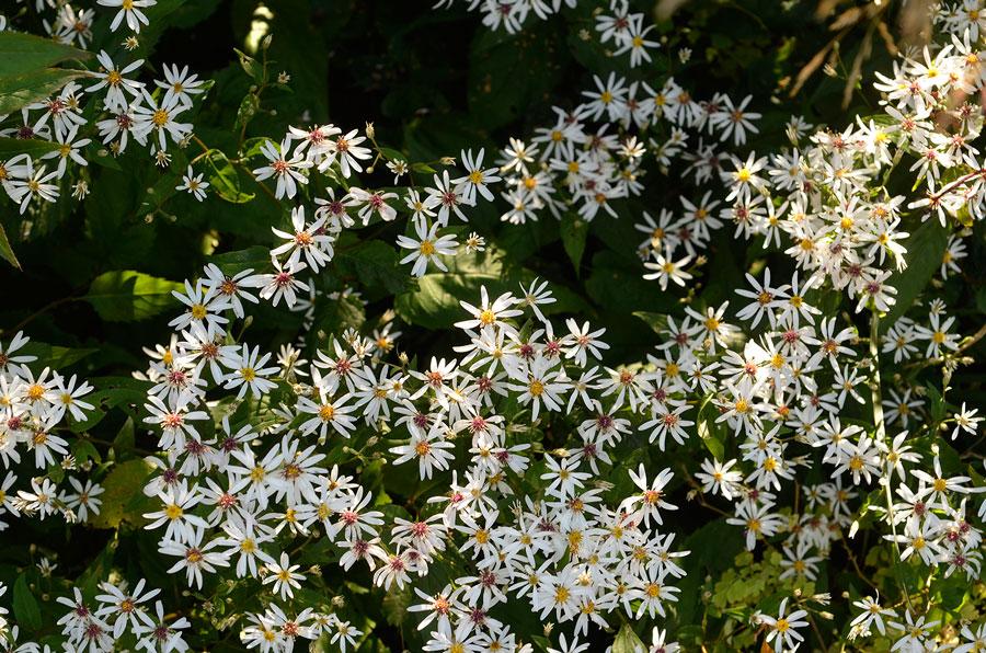 Vit skogsaster i full blom. Foto: Kerstin Engstrand