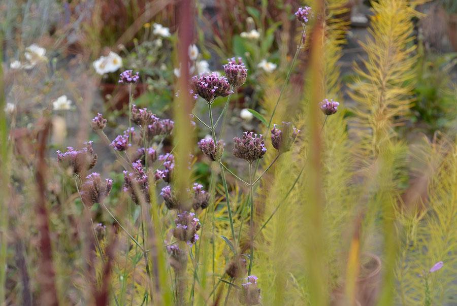 Jätteverbena skymtar bakom det japanska blodgräset. Foto: Kerstin Engstrand