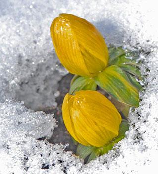 Gäckar vintern, vintergäcken reagerar snabbt på värmande solstrålar. Foto: Kerstin Engstrand
