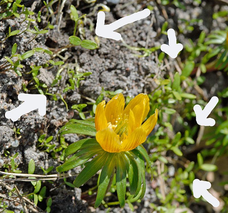 Trivs den så sprider den sig, här är det mängder med småplantor på g. Foto: Kerstin Engstrand