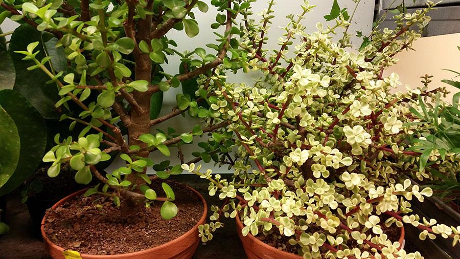 Buskportlak är också lätt att forma till bonsaiväxt. Ibland hittar man fina exemplar i svenska trädgårdsbutiker. Dessa kostade 795 kr styck. Foto: Kerstin Engstrand