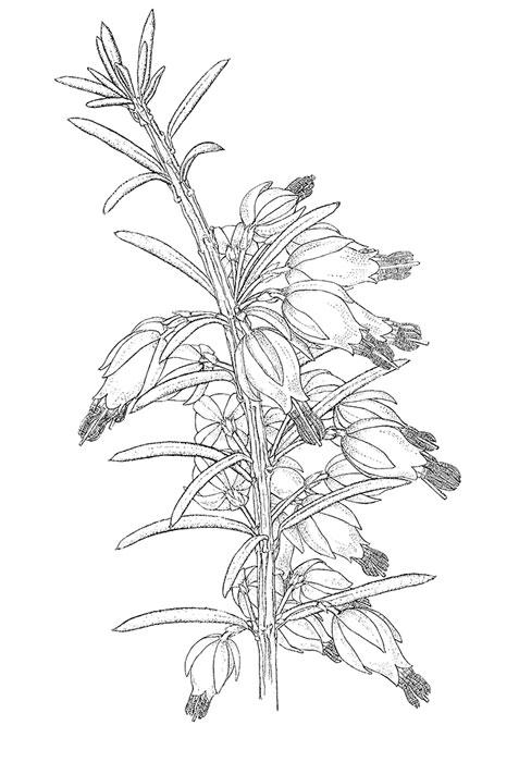 Brita Johansson är också mycket skicklig tecknare. Denna teckning av Erica carnea återfinns i dess original i British Museum i London.