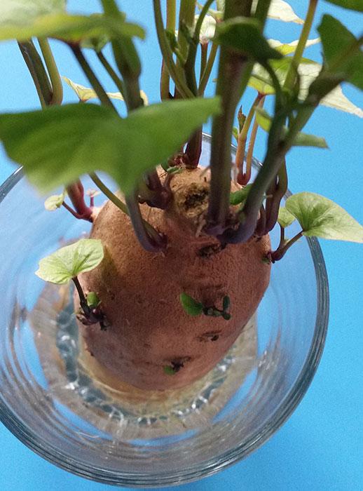 Sötpotatis i ett glas med vatten. Foto: Kerstin Engstrand