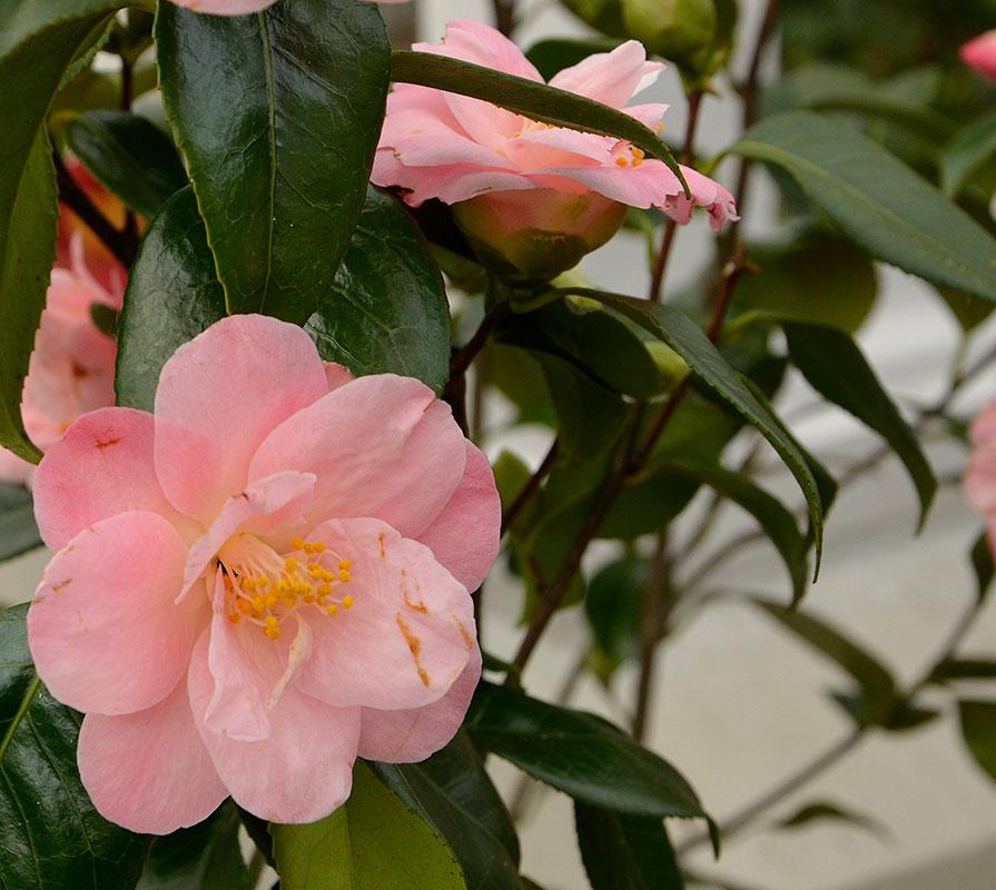 Camellia japonica 'Berenice Boddy' har både enkla och halvfyllda  blommor. Anges som vinterhärdig ner till ‐20° C.