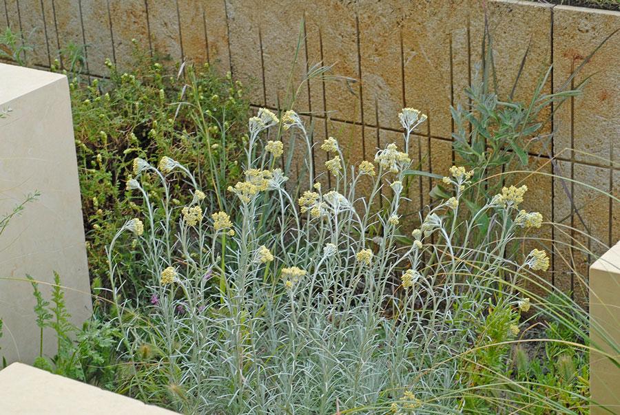 Helichrysum italicum serrotinum, en sorts curryeternell som borde kunna bli en bästsäljare. Foto: Kerstin Engstrand