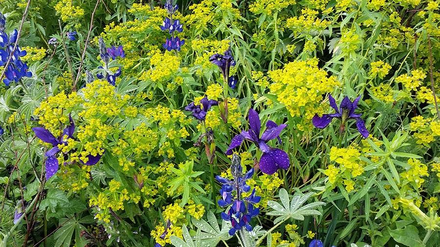 Limegrön törel och kungsblå iris. Foto: Kerstin Engstrand