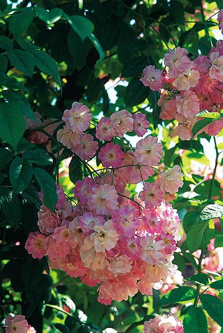 'Blush Rambler' är romantiskt rosa med lite inslag av gult. Blommorna skiftar också i färgton, från nästan rosavitt till mörkare rosa. En vacker ros med karaktär som borde ses oftare i våra trädgårdar. Oerhört rikblommande, 40 blommor per klase är vanligt. Foto: Kerstin Engstrand