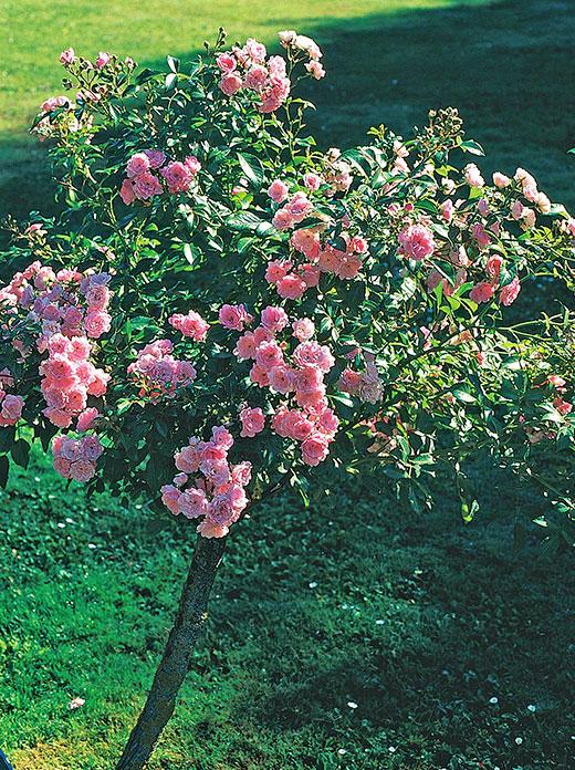 'The Fairy' som stamros är en dröm för många, den är väl den sort som blir mest romantisk. Bladverket är friskt grönt och de fint formade, fyllda blommorna sitter i stora klasar. Foto: Kerstin Engstrand