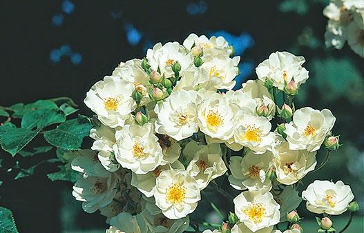 'Thalia' är vacker, vit som utslagen medan knopparna går i en lätt rosa ton. Kallas också för 'White Rambler'. Foto: Kerstin Engstrand