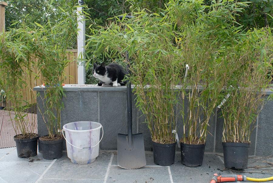odla bambu inomhus