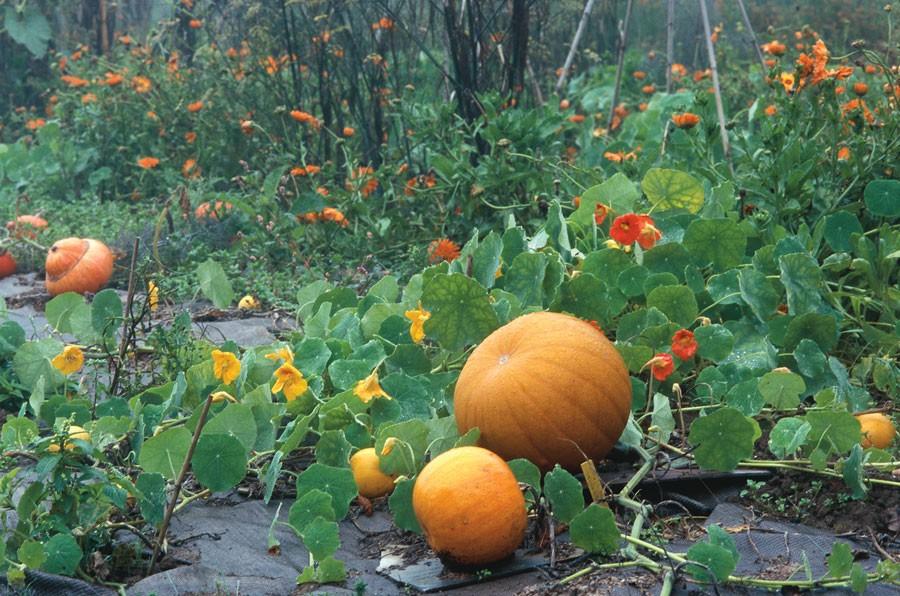 Jättepumpor pryder hösten. Foto: Kerstin Engstrand