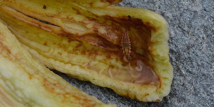 En guldögonslända eller florsländas larv, de brukar kallas för bladluslejon, låter sig väl smaka av dagliljegallmyggans larver. Foto: Kerstin Engstrand