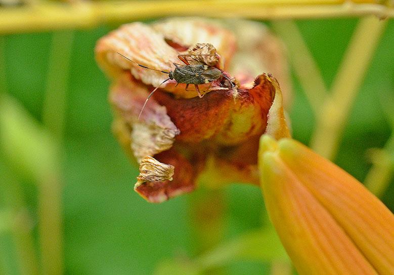 Oskyldig till förödelsen är denna ängsskinnbagge,Closterotomus biclavatus. Det är dagliljegallmyggan som varit i farten. Foto: Kerstin Engstrand