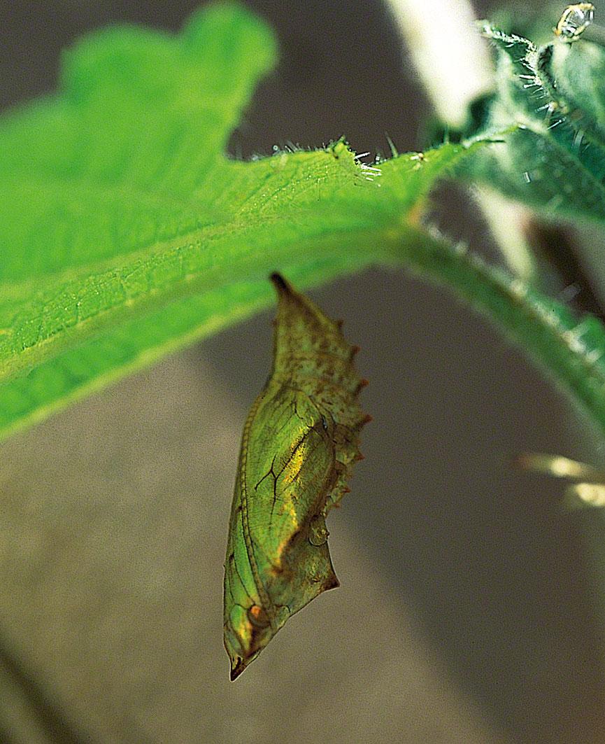 Nässelfjärilslarven har gått in i puppstadiet. Guldglänsande hänger den under bladet och snart kommer skalet att brytas sönder och en fullt utvecklad nässelfjäril kommer fram. Foto: Kerstin Engstrand