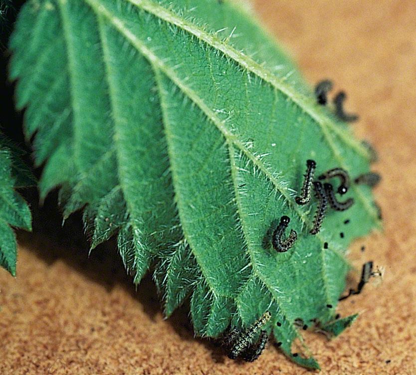 Nässelfjärilens larver växer snabbt till sig. Äggen är så små så de brukar man sällan se. De här larverna är ganska nykläckta och bara 5 mm långa. Foto: Kerstin Engstrand