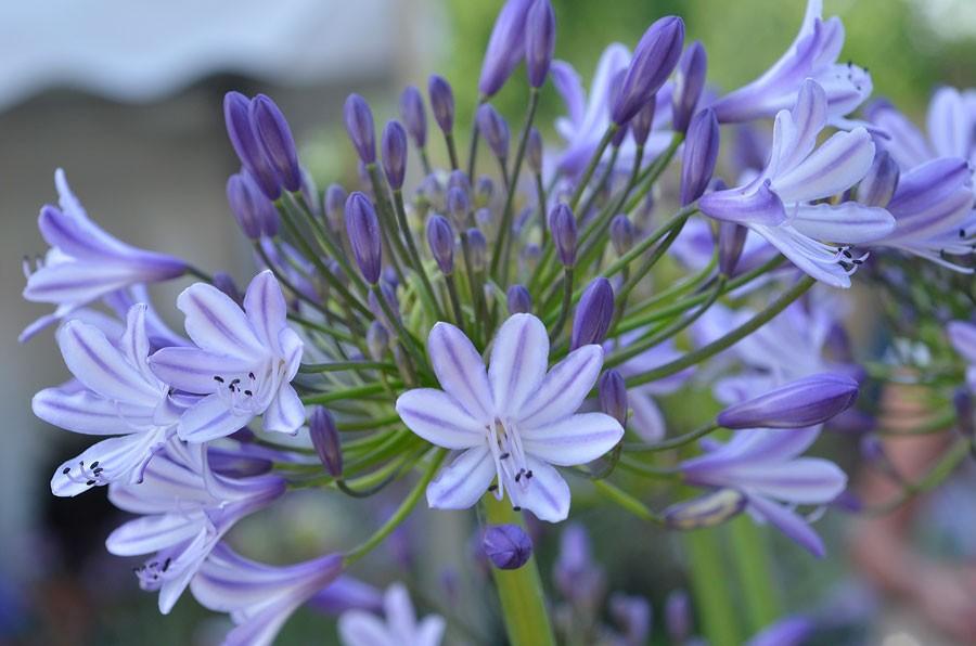 Megan's Mauve, är en riktigt iögonfallande, blommor i lila och vitt. Vintergröna blad. Foto: Kerstin Engstrand