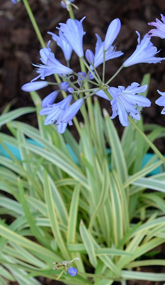 Gold Drops är ny, brokbladig och behåller sina blad hela vintern. Blir ca 40 cm hög och en planta kan med tiden få en omkrets av ca 45 cm. Foto: Kerstin Engstrand